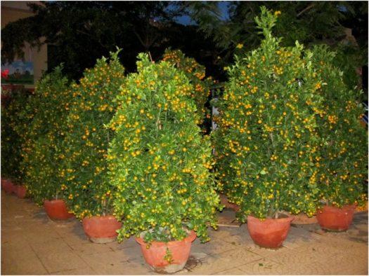 Мандариновые деревья для украшения дома в Тет