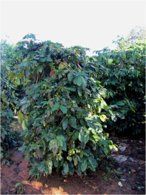 Кофейное дерево на плантации кофе в Далате, провинция Лам Донг
