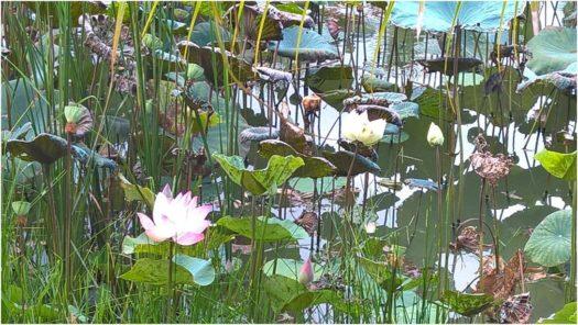 Озеро лотосов на территории отеля Cam Ranh Riviera Beach and SPA