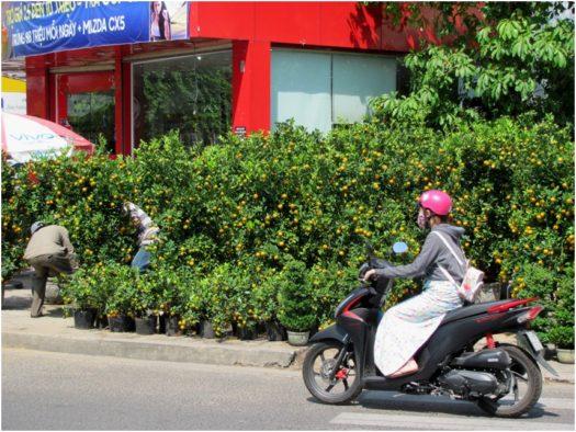 Мандариновые деревья на вьетнамских улицах
