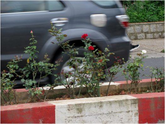 Розы на дороге Далата