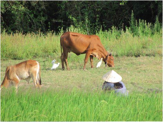 Коровы и цапли во Вьетнаме