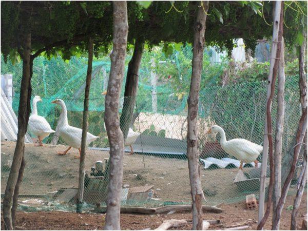 Гуси на винограднике под Фанрангом