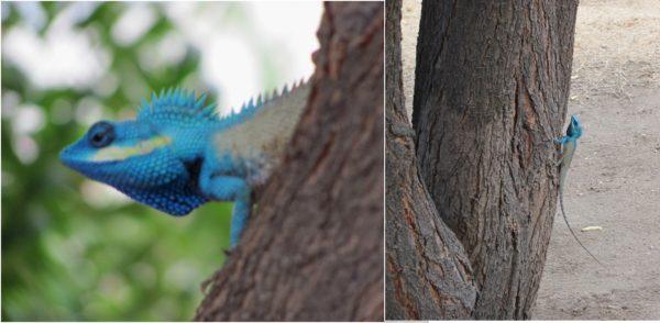 Синеголовая ящерица в Фанранге